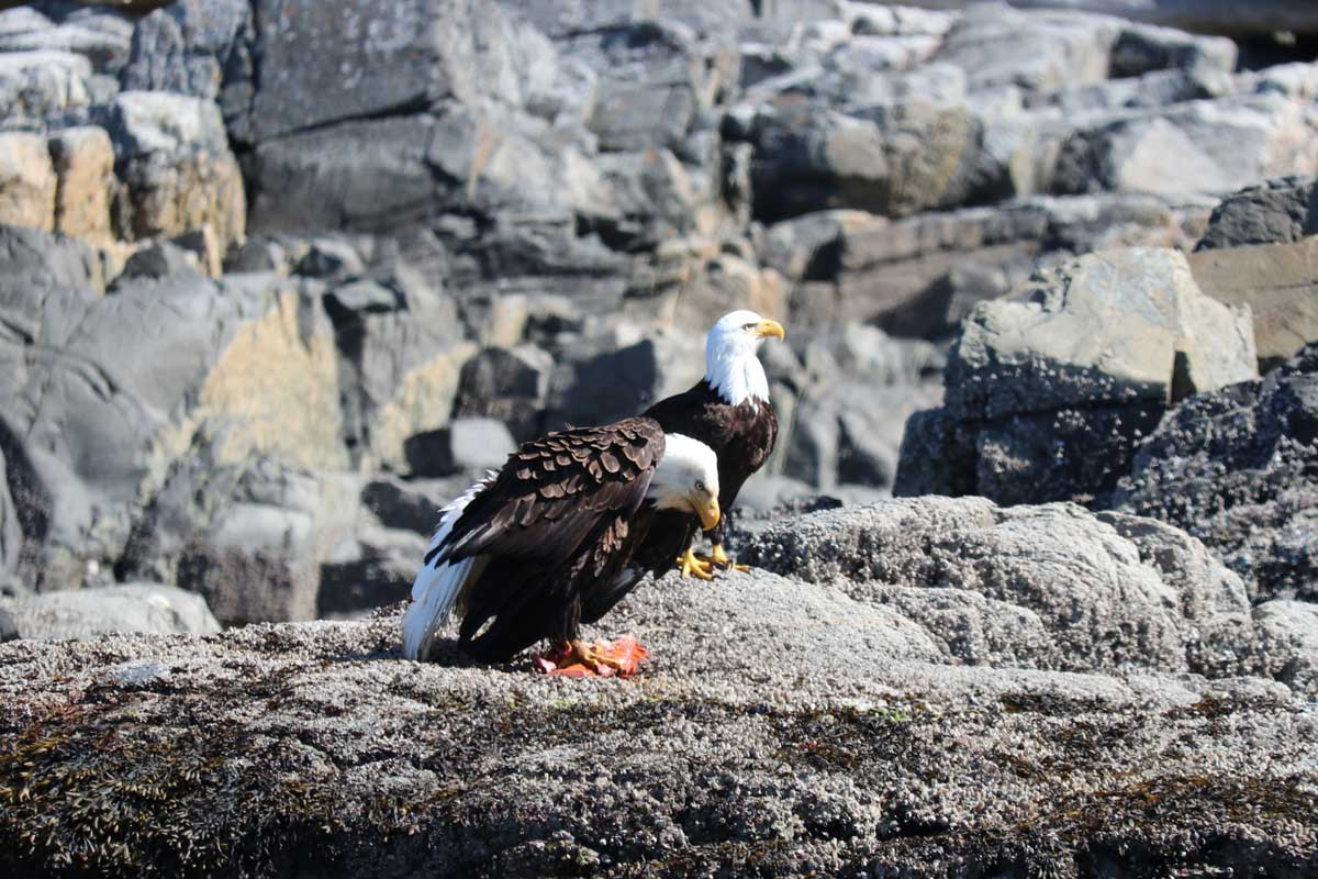 Bald Eagles with Fish