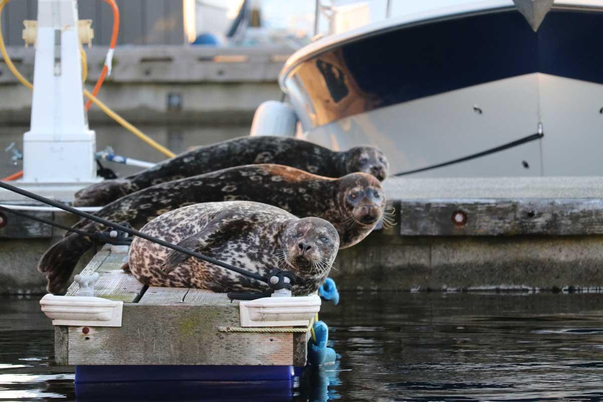 Harbour Seals at Marina