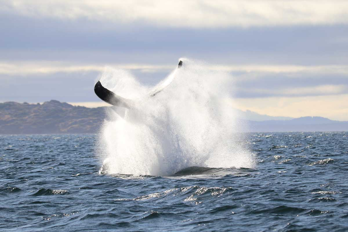 Humpback Whale Splash