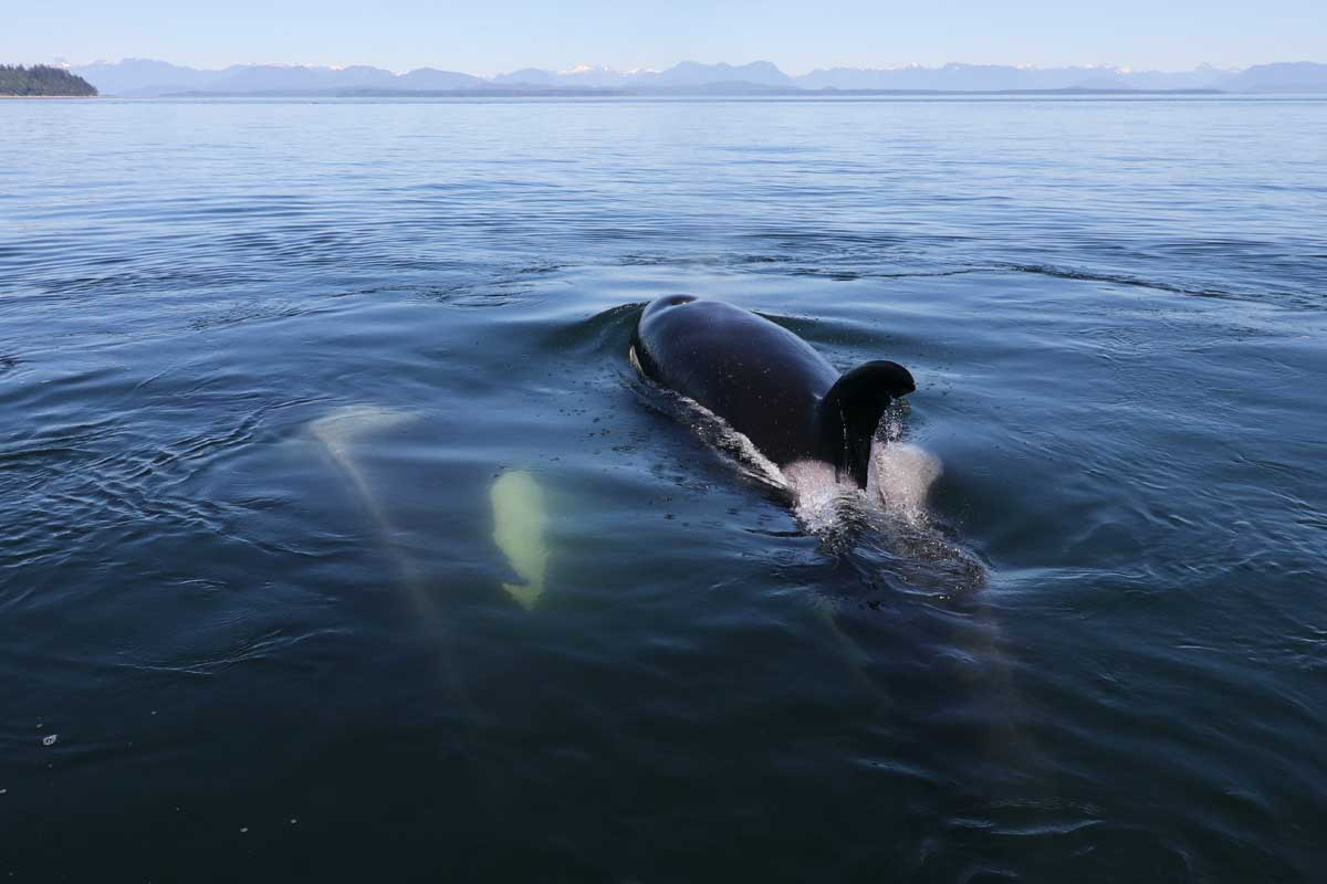 Two killer whales surfacing